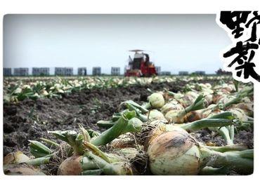 新玉ねぎの収穫作業