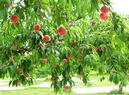 ちいさな桃が、どんどん大きくなっていくサポートをします♪ 7月にはこんなに立派においしい桃が☆+