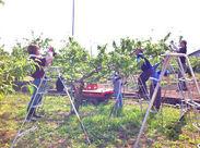<桃農園でのスタッフ募集♪>緑の自然の中、和気あいあいとみんなで楽しく働いています!