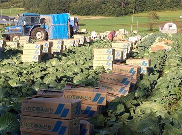 キャベツ・大根・トマト・とうもろこしなど たくさんのおいしい野菜を生産しています◎ いろんな種類の野菜作りに携われます!
