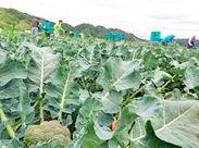 *+. 畑で気分爽快 .+* 意外とスグにコツがつかめる! ブロッコリーの収穫作業♪ ちょっと珍しい農業系バイトしてみませんか?