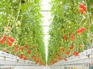 【4~7月だけの限定短期】 トマトの栽培スタッフ大募集~♪ 15時までだから、主婦さんも多数活躍中です!