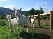 酪農王国「十勝」の魅力をお客様に伝えてくださいね。 未経験の方には、丁寧にヤギやヒツジの生態をお教えします