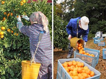 ハサミで一つ一つ丁寧に収穫したり、 みかんの入ったカゴをトラックまで運ぶお仕事♪ 配属先の農家さんとシフトは相談OK!