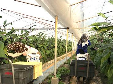 【収穫スタッフ】◎働きやすさは保障済◎とっても簡単な作業なので、1~2週間で覚えられます!午前のみ勤務OK!!夏・冬休みも充実しています♪
