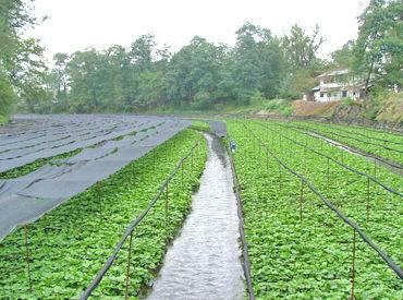 ~信州で有名なわさび農園~ 澄んだ水と、どこまでも広がるわさび畑が自慢です♪