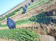 農作業に関わるオシゴト♪ 農家さんの畑での収穫や、仕分けなどの調整作業です◎ シンプル作業☆未経験スタート歓迎!