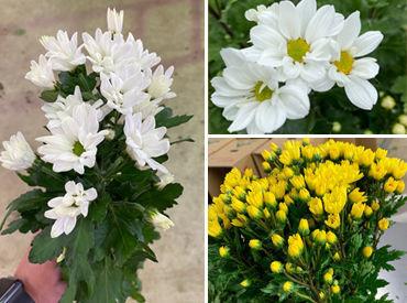 小菊を専門に扱っています♪ お花が好き!!という理由でスタートしたからも沢山いますよ★