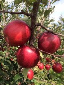 【りんご売りStaff】◎*人と違うバイトを探している方必見*◎<青森直送>美味しいりんご&リンゴジュースをお届け♪【短期/日払い/週2日~…etc】