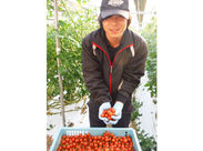 ↑↑キレイに整備されたビニールハウスに鈴なりに生るトマトの姿はとても可愛らしく、気持ちがイイですよ♪