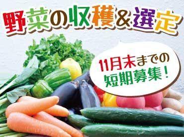 \短期のオシゴト♪/ ★カボチャ・玉ねぎの収穫&選定★ 難しい作業はありません◎