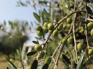 ≪レア≫牛窓オリーブ園で爽やかバイト..:。*゚ オリーブの収穫をお願いします♪ 特別な技術はいりません!ご応募はお早めに☆