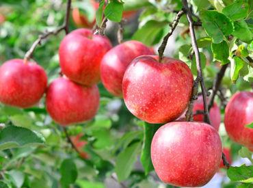 <20~30代活躍中>青森県南津軽郡の大鰐町から届く産地直送のりんご達! 季節の移ろいとともに、お客様にお届けします♪
