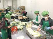 \みんなで大根やキャベツを包装中!/ 一定の温度に保たれた倉庫内なので快適♪ 扱うのは軽めのお野菜だから、力仕事も少なめ!!