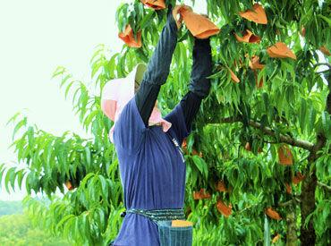 岡山と言えば…『桃』!緑の果樹園で桃を収穫♪ 「テストが終わって…」「子供が夏休みに入って…」 スタート・終了時期も相談◎