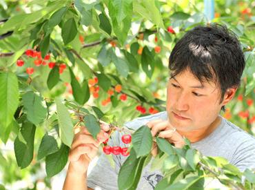 さくらんぼや桃へ愛情を持ってお世話・お手入れをしてくれる方歓迎♪自然に触れながらのお仕事は、心もリラックス!